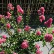 百日紅  猛暑が大好き、どんどん咲いてます