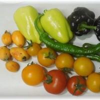 脇芽挿しのトマトを定植