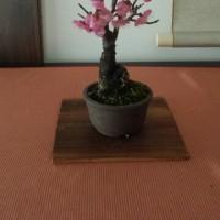 梅の盆栽咲いた