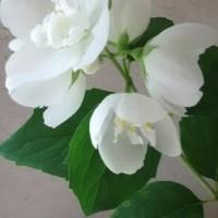 白い花咲いた