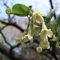 季節の花「夏茱萸 (なつぐみ)」