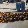 サーモンランド宮古の推進力、田老町樫内漁港の昆布です。