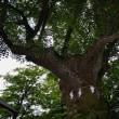 時の進化か、「熊野神社ご神木」今や自撮りスポット