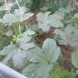 庭の野菜 キューリ・ゴーヤ・オクラ 170723