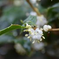 ヒイラギの白い花で、角がとれる