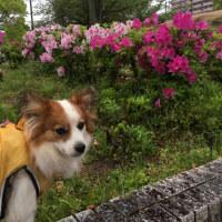 4/26  今日のパピ子