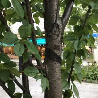 シュゼンジカンザクラ 樹皮