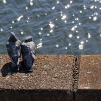 境川堤防のハト達