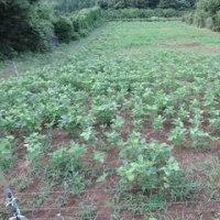 大豆畑の草刈り