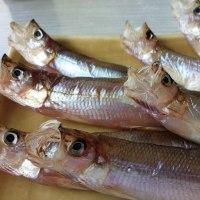 故郷の特産むかわのシシャモ漁始まる・・・