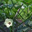 暑さに閉口 野菜は元気 2017/07/24 (鹿児島)