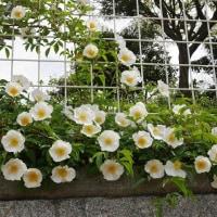 ナニワイバラの開花