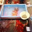 金魚のふるさと  江戸川区を知る