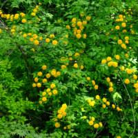 春の山野草 フジツツジ、ヤマトユキザサ、イカリソウ、ケマンソウ