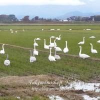 白鳥の飛来数も大分多くなっています☆