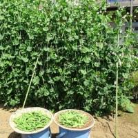 キュウリ・ナス・トマト植え付け二度手間