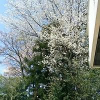 山桜の季節