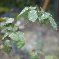 昨日からの雨