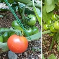 ★お初の赤トマトをうやうやしく。。。
