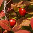 ウスノキ に赤い実が