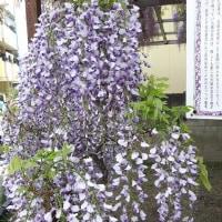 野田ふじ 2017.4.25