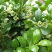 タマツゲの花とレタスの花