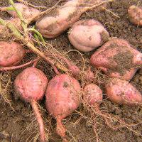さつまいも栽培2016年、収穫第1弾 安納芋