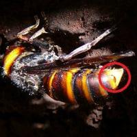 「スズメバチはなぜ 人間の素肌が分かるのか」