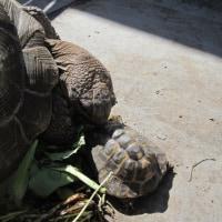 5月5日 チチュウカイ属成体の完全屋外飼育を完了