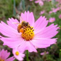 ピンクのコスモスに蜜蜂