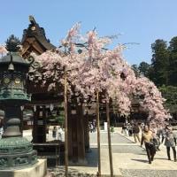 多賀大社の桜