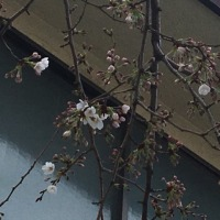 桜の木。のこと