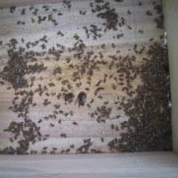 ミツバチの内検をしたら巣箱の中にスズメバチが4匹が入って死んでいました