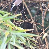今日の野鳥   チュウヒ・ハイイロチュウヒ雄・ウソ