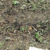 耕作放棄地からバラ園へ 2017 .4.27