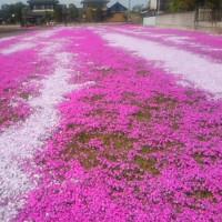 芝桜のジュータン!?