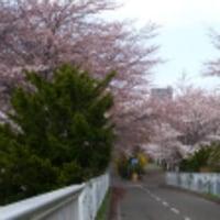 桜の道、今だけの贅沢。。。