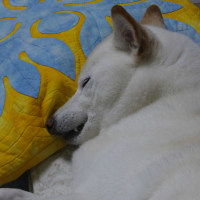 犬歯を出して寝る、愛ちゃん♪