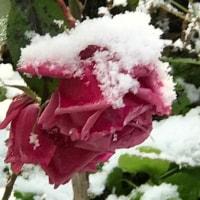 雪中花、薔薇🌹🌹🌹