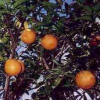 温州橘(うじゅきち)