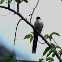 今日の野鳥・・・オナガ・・・近くで。。