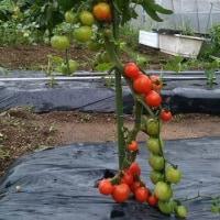 オクラ初収穫です。