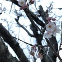 I家の桜。~咲きました~