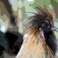 真清田神社にいるアウトレイジな烏骨鶏 その4