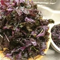 初・赤紫蘇ジュースを作ります2016
