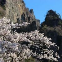 群馬県甘楽郡下仁田町の妙義山系中之岳の中腹では、ヤエザクラの花が満開です