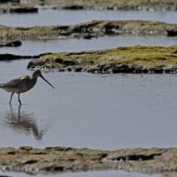 今日の大瀬海岸の鳥見