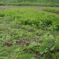 8列トウキビ  イチゴ畑のスギナ取り  種植えしたものが発芽