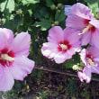 夏の花 木槿咲く 二景