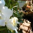 夏咲きのミニカトレア